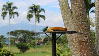 Les oiseaux de la région du café