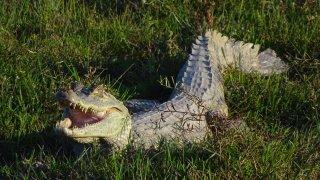 Un caiman des Llanos