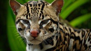 L'Oncille aussi appelé Léopard tigre