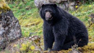 Ours dans le parc Chingaza près de Bogota en Colombie