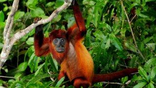 Le singe hurleur