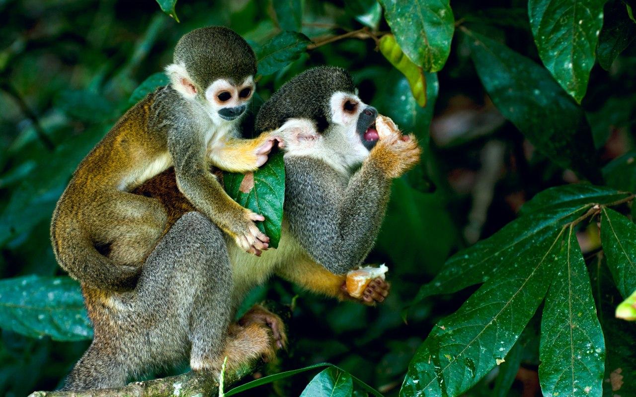 Des singes dans la forêt amazonienne
