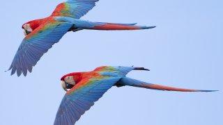 Vol d'Aras en Amazonie équatorienne