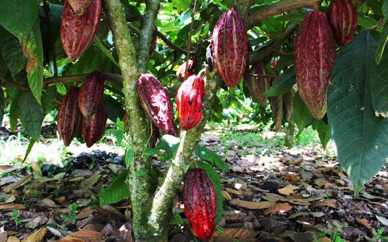 L'arbre du cacao