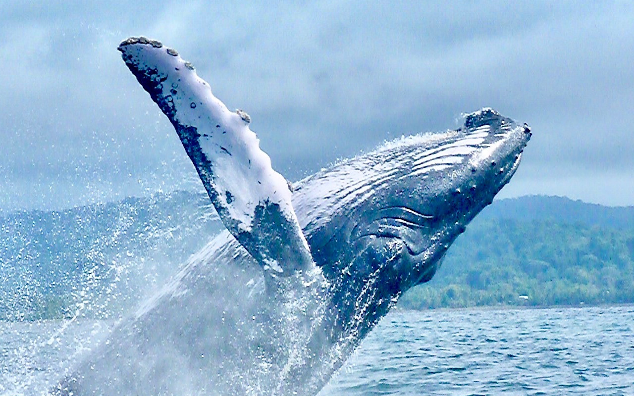 Une baleine en Colombie
