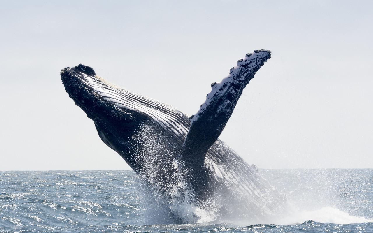 Baleine à Gorgona en Colombie