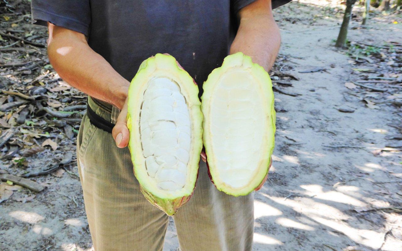 Cacao de la Sierra Nevada de Sata Marta
