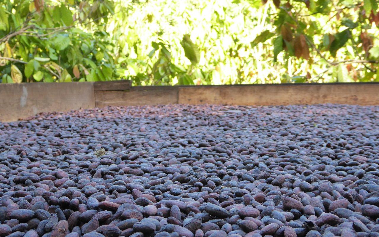 Fèves de cacao qui sèchent