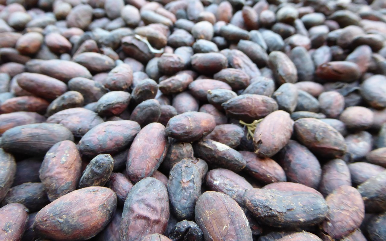Fèves de cacao de Colombie