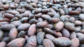 Le cacao en Colombie
