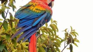 Un perroquet de Colombie