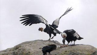 Les condors, oiseaux de Colombie