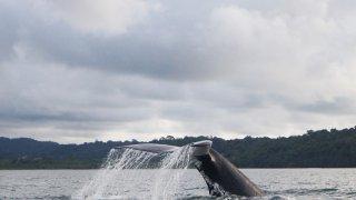 Observation des baleines à Gorgona en Colombie