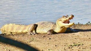 Un Crocodile dans les Llanos Orientales en Colombie