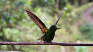 Un colibri dans la région du café en Colombie