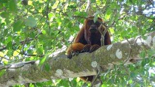Un singe en Colombie
