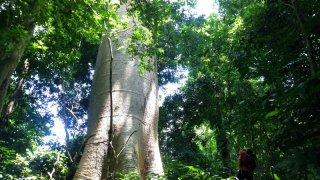 Les arbres étonnants de la forêt des géants dans le Darien
