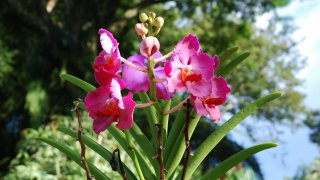 Les orchidées de Colombie
