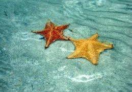 Etoiles de mer à Bocas del Toro au Panama