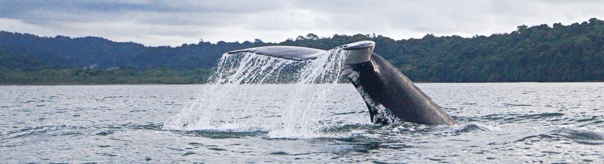 Baleine dans le Pacifique en Colombie