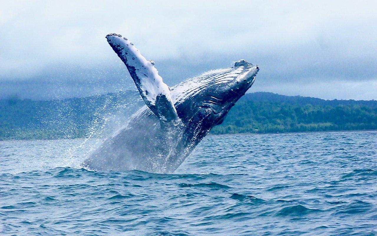 Saut d'une baleine dans la Pacifique en Colombie