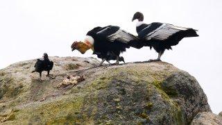 Observation des condors messagers dans le Parc du Purace