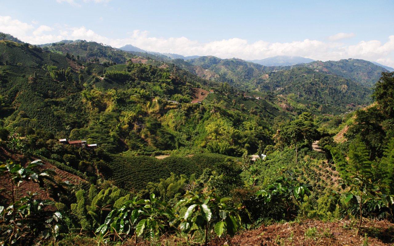 culture du café dans la région du café