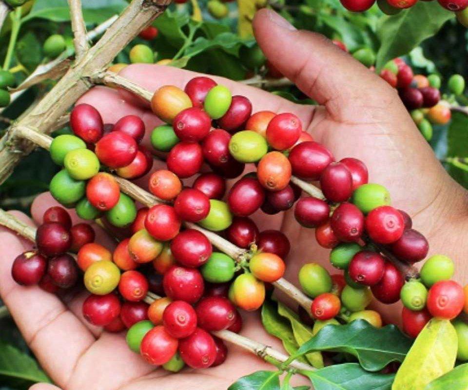 Cerises de café de la région du café en Colombie